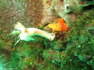 Nudibranchs around Malapascua dive sites
