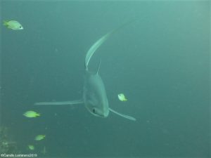 Thresher shark at Monad Shoal December 2019