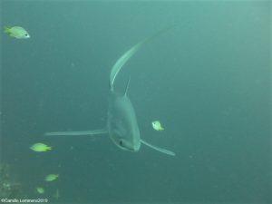 Thresher shark at Monad Shoal December 2019